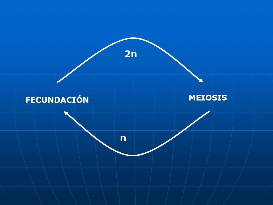 MEIOSIS FECUNDACIÓN n 2n