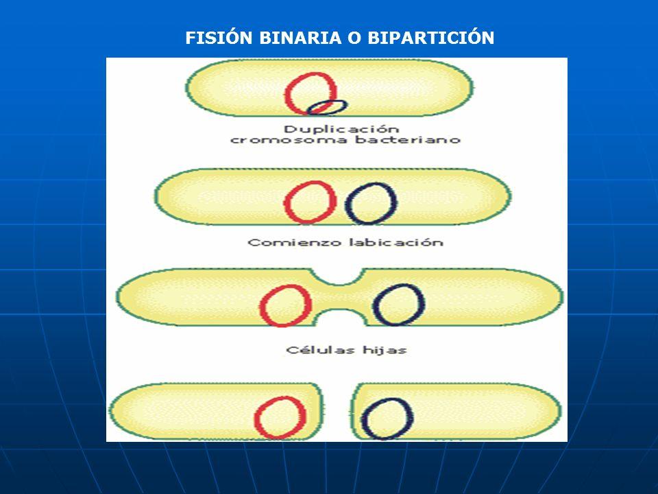 FISIÓN BINARIA O BIPARTICIÓN
