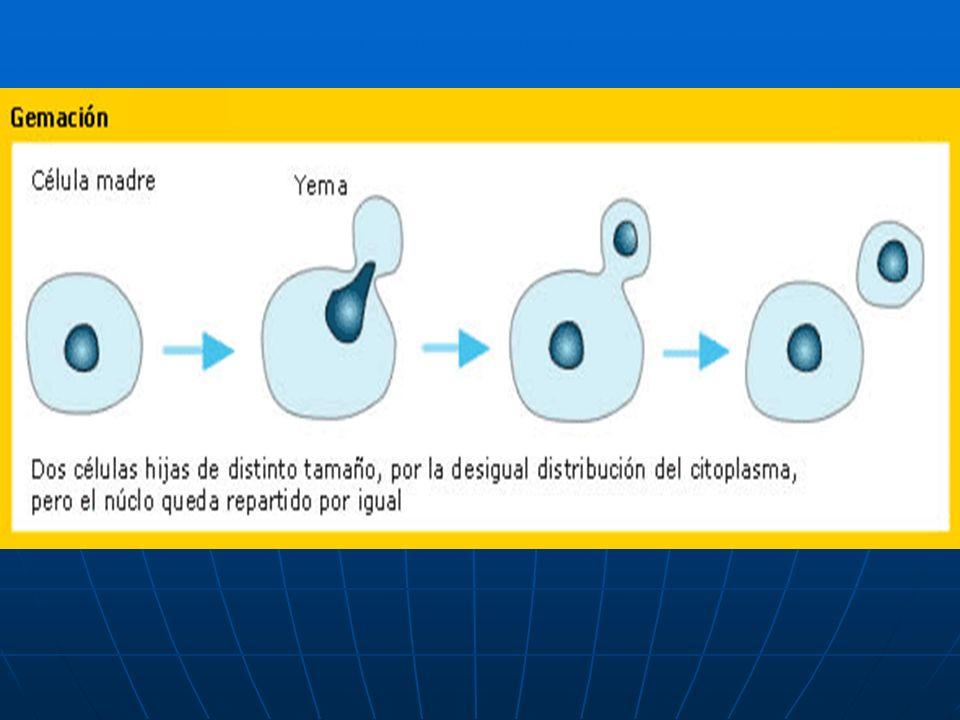 DIVISIÓN REDUCCIONAL EN EL CUAL A PARTIR DE UNA CÉLULA MADRE DIPLOIDE (2n), QUE CONTIENE DOBLE JUEGO DE COMOSOMAS ( uno paterno y el otro materno), SE ORIGINA CUATRO (4) CÉLULAS HIJAS HAPLIODES CON LA MITAD DE LA INFORMACIÓN GENÉTICA