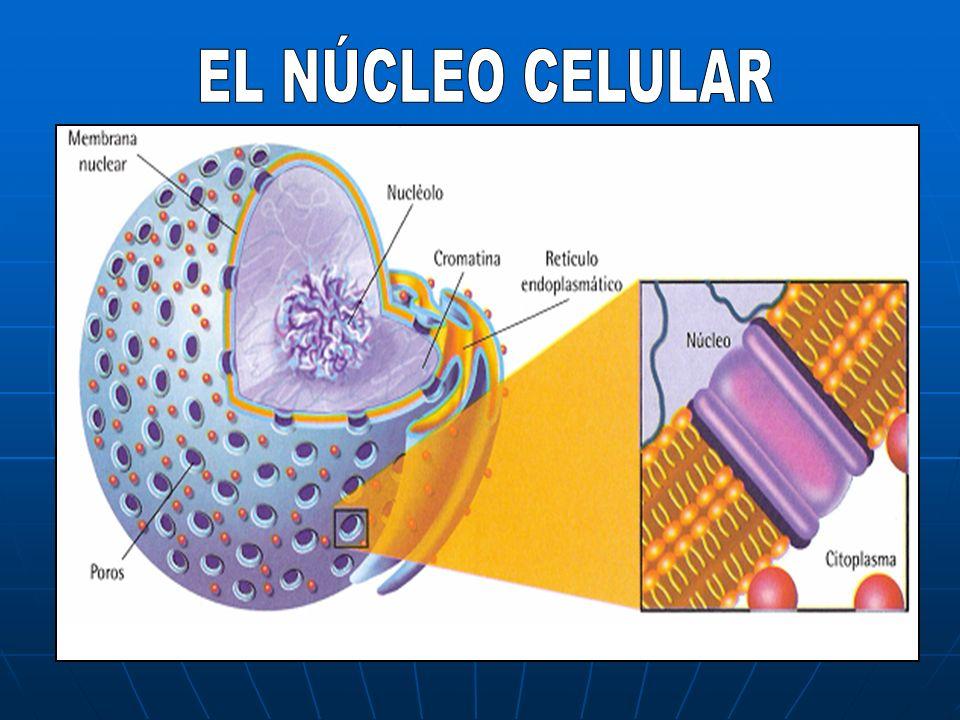 G. Sexuales (gónadas)Gametos Testículos Espermatozoides (n) Ovarios Óvulos (n)