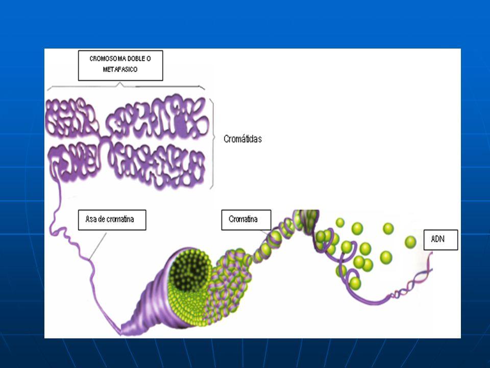Organismo Cel.Diploide (2n) Cel.