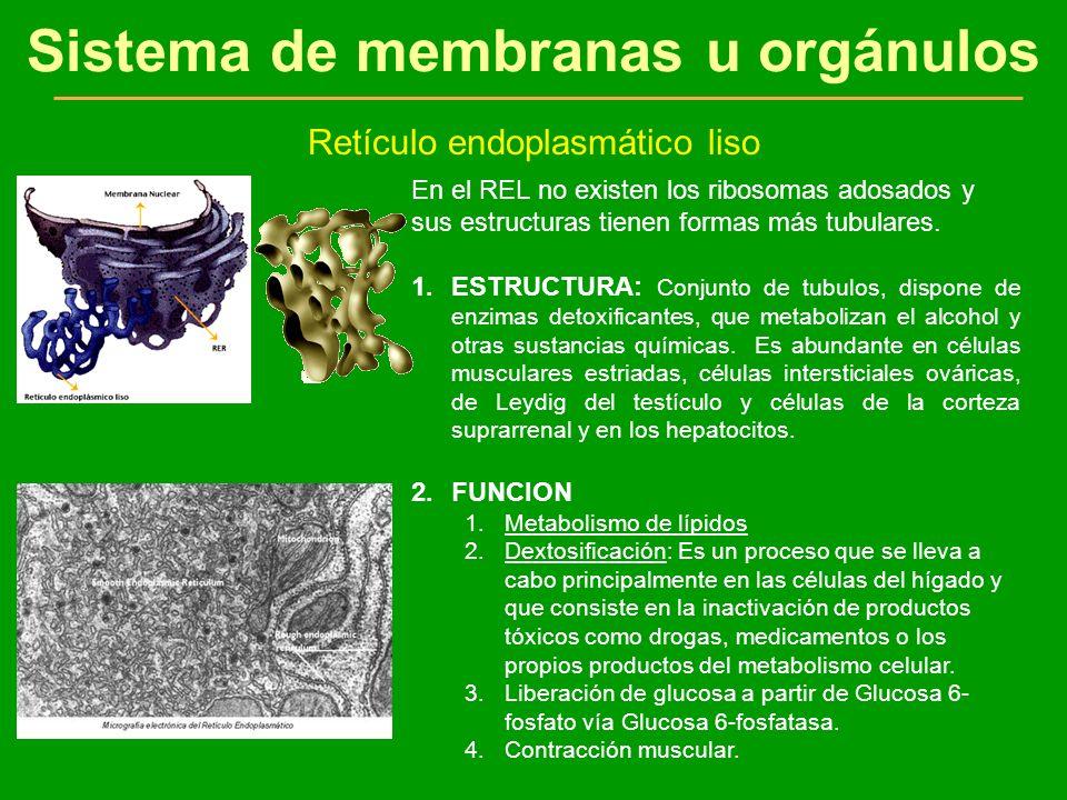 Sistema de membranas u orgánulos Retículo endoplasmático liso En el REL no existen los ribosomas adosados y sus estructuras tienen formas más tubulare