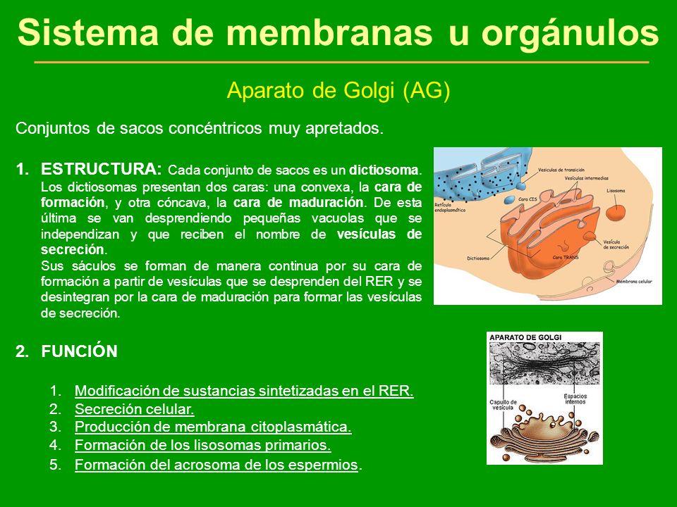 Sistema de membranas u orgánulos Aparato de Golgi (AG) Conjuntos de sacos concéntricos muy apretados. 1.ESTRUCTURA: Cada conjunto de sacos es un dicti