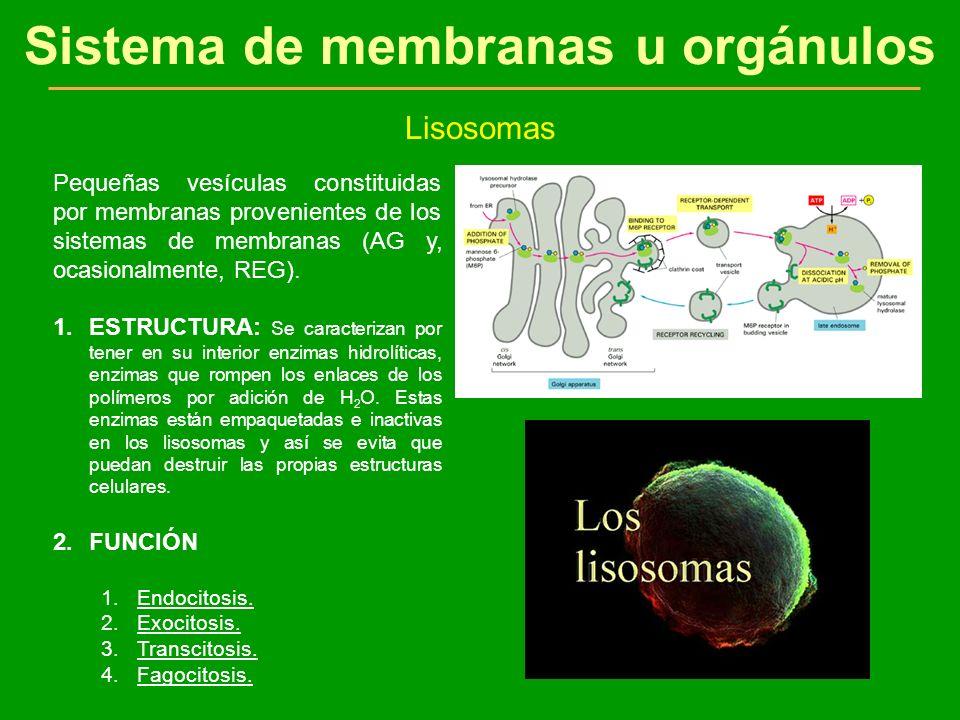 Sistema de membranas u orgánulos Lisosomas Pequeñas vesículas constituidas por membranas provenientes de los sistemas de membranas (AG y, ocasionalmen