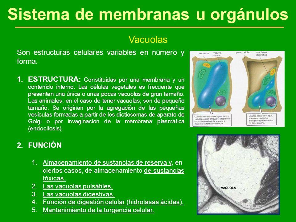 Sistema de membranas u orgánulos Vacuolas Son estructuras celulares variables en número y forma. 1.ESTRUCTURA: Constituidas por una membrana y un cont