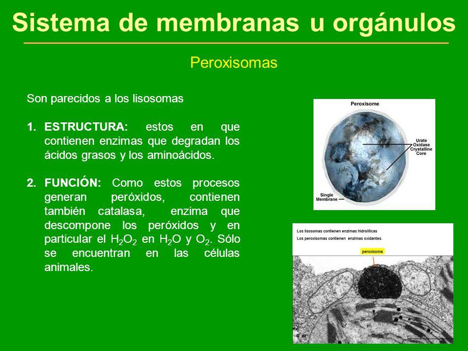 Sistema de membranas u orgánulos Peroxisomas Son parecidos a los lisosomas 1.ESTRUCTURA: estos en que contienen enzimas que degradan los ácidos grasos