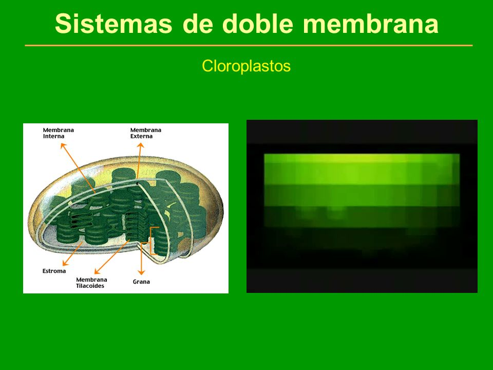 Sistemas de doble membrana Cloroplastos