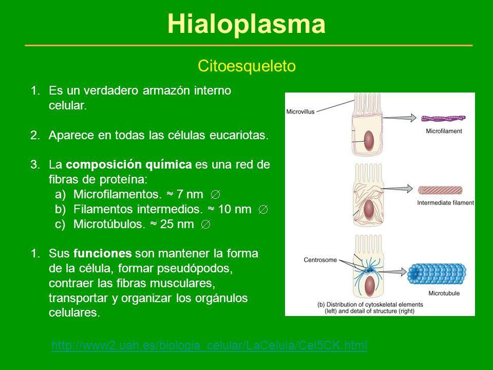 Hialoplasma Citoesqueleto 1.Es un verdadero armazón interno celular. 2.Aparece en todas las células eucariotas. 3.La composición química es una red de