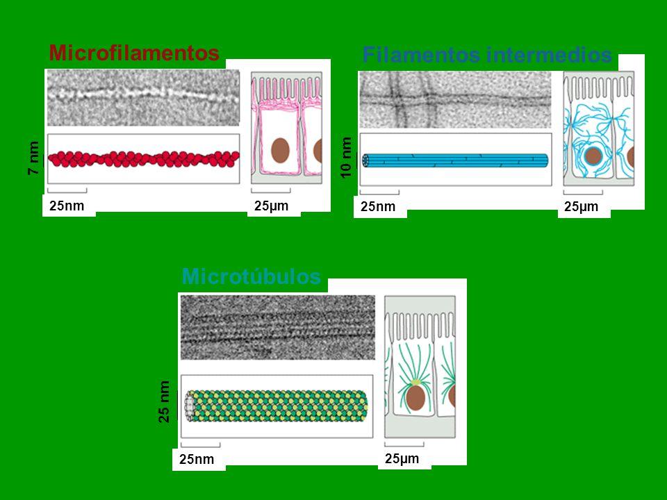 Microtúbulos Microfilamentos Filamentos intermedios 25 nm 10 nm 7 nm 25µm 25nm
