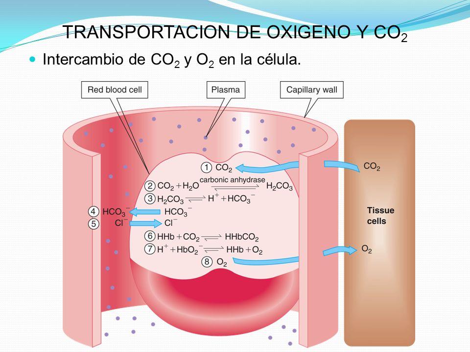TRANSPORTACION DE OXIGENO Y CO 2 Intercambio de CO 2 y O 2 en la célula.
