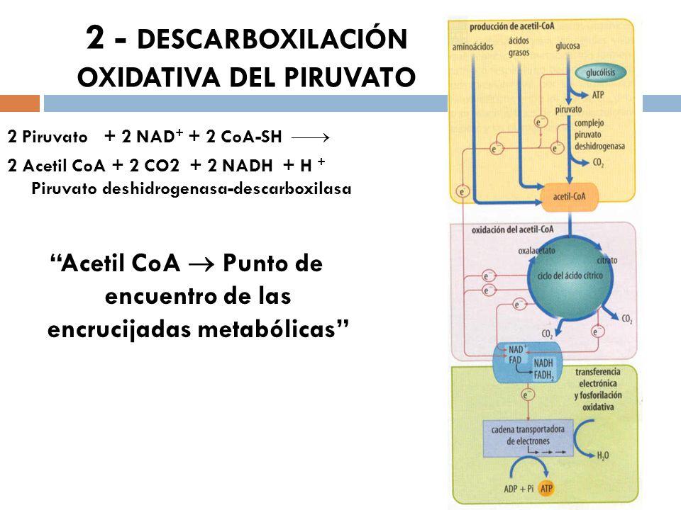 2 - DESCARBOXILACIÓN OXIDATIVA DEL PIRUVATO 2 Piruvato + 2 NAD + + 2 CoA-SH 2 Acetil CoA + 2 CO2 + 2 NADH + H + Piruvato deshidrogenasa-descarboxilasa