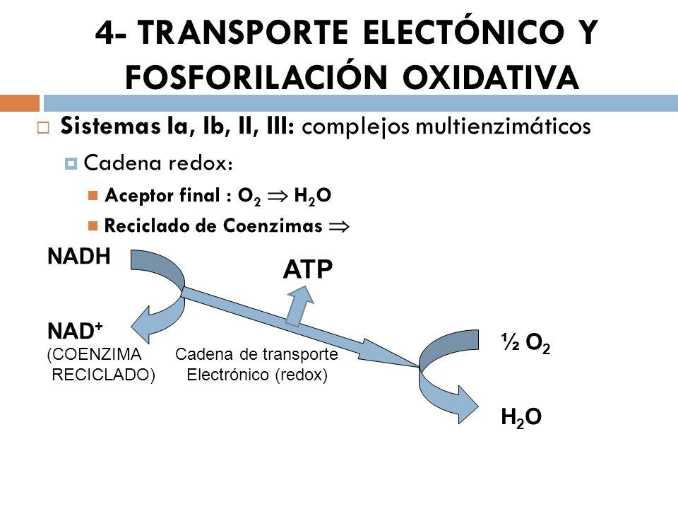 4- TRANSPORTE ELECTÓNICO Y FOSFORILACIÓN OXIDATIVA Sistemas Ia, Ib, II, III: complejos multienzimáticos Cadena redox: Aceptor final : O 2 H 2 O Recicl