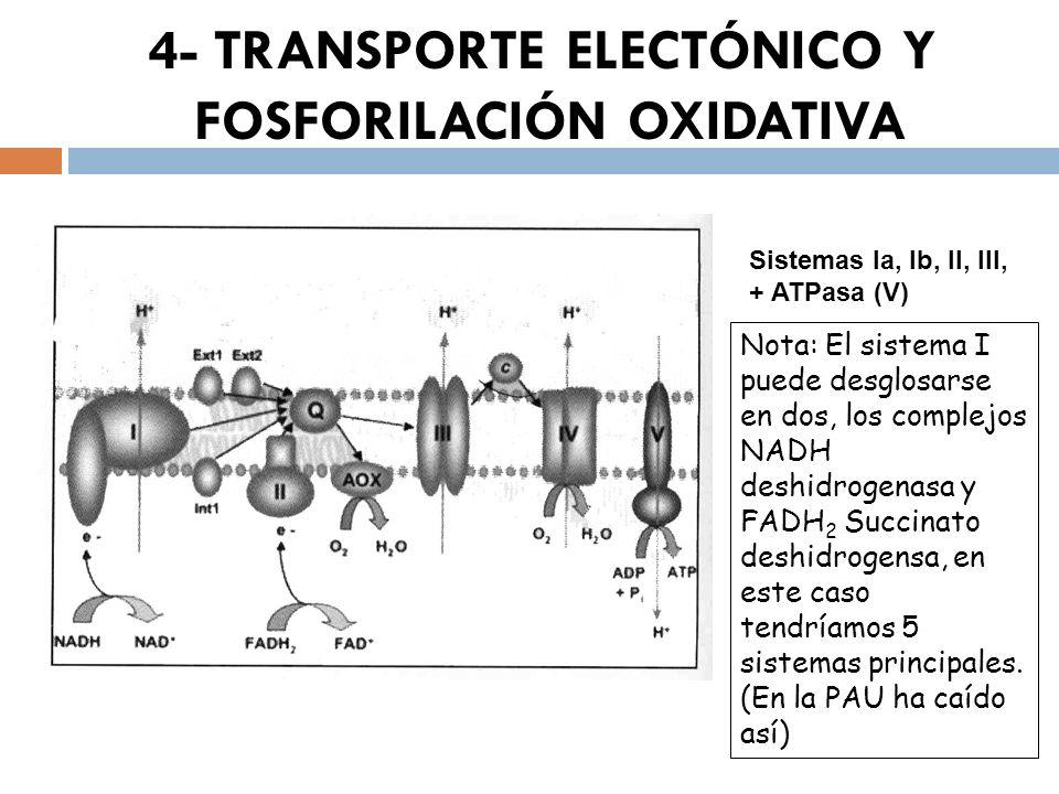 Sistemas Ia, Ib, II, III, + ATPasa (V) Nota: El sistema I puede desglosarse en dos, los complejos NADH deshidrogenasa y FADH 2 Succinato deshidrogensa