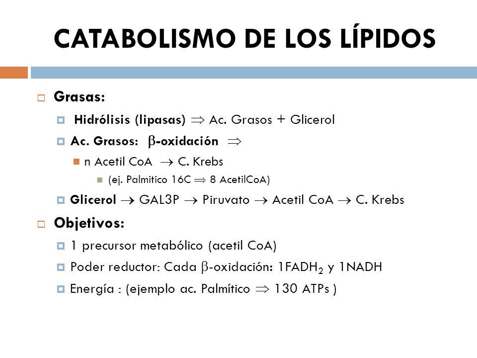 CATABOLISMO DE LOS LÍPIDOS Grasas: Hidrólisis (lipasas) Ac. Grasos + Glicerol Ac. Grasos: -oxidación n Acetil CoA C. Krebs (ej. Palmitico 16C 8 Acetil