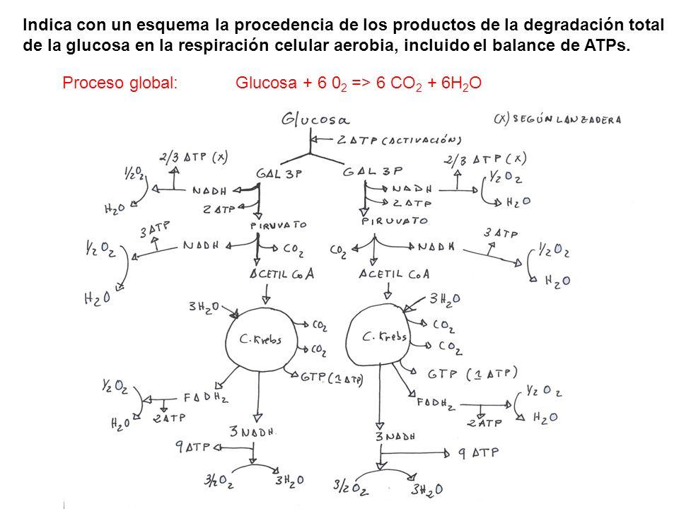 Indica con un esquema la procedencia de los productos de la degradación total de la glucosa en la respiración celular aerobia, incluido el balance de