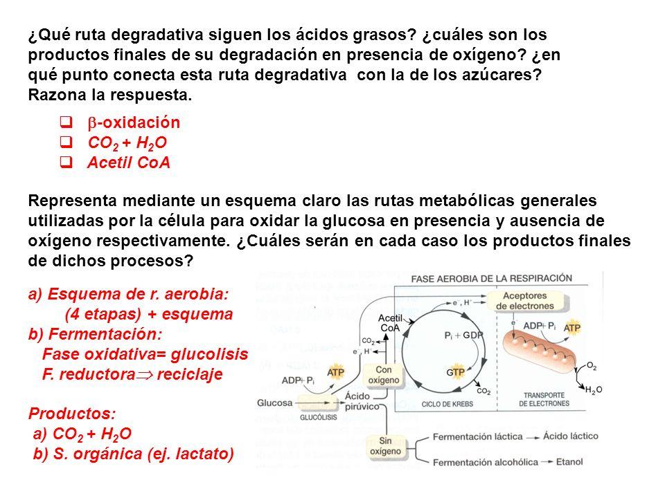 ¿Qué ruta degradativa siguen los ácidos grasos? ¿cuáles son los productos finales de su degradación en presencia de oxígeno? ¿en qué punto conecta est