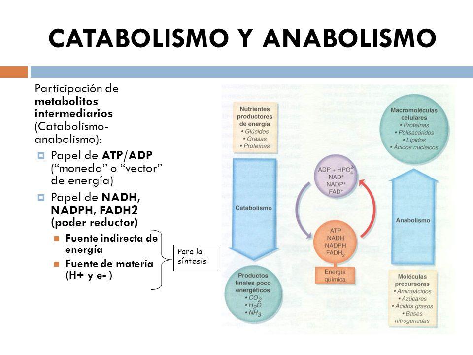 CATABOLISMO Y ANABOLISMO Participación de metabolitos intermediarios (Catabolismo- anabolismo): Papel de ATP/ADP (moneda o vector de energía) Papel de