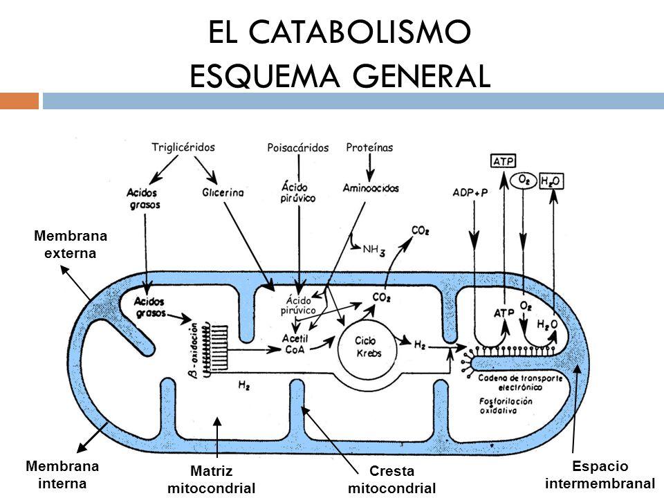 EL CATABOLISMO ESQUEMA GENERAL Membrana externa Membrana interna Matriz mitocondrial Cresta mitocondrial Espacio intermembranal