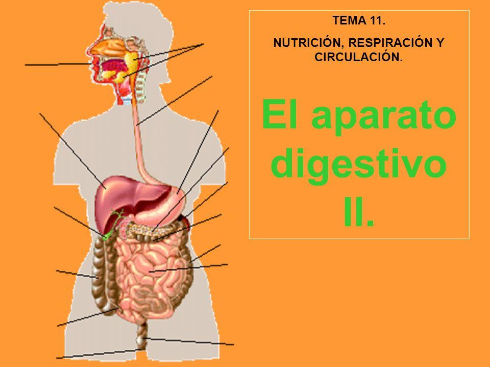 TEMA 11. NUTRICIÓN, RESPIRACIÓN Y CIRCULACIÓN. El aparato digestivo II.