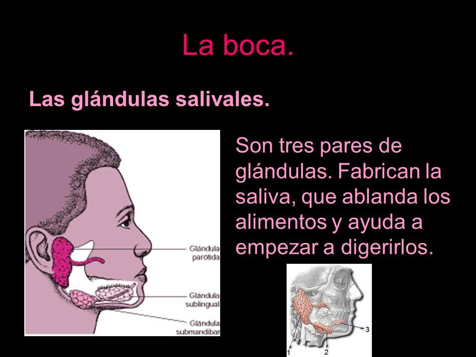 La boca. Las glándulas salivales. Son tres pares de glándulas. Fabrican la saliva, que ablanda los alimentos y ayuda a empezar a digerirlos.