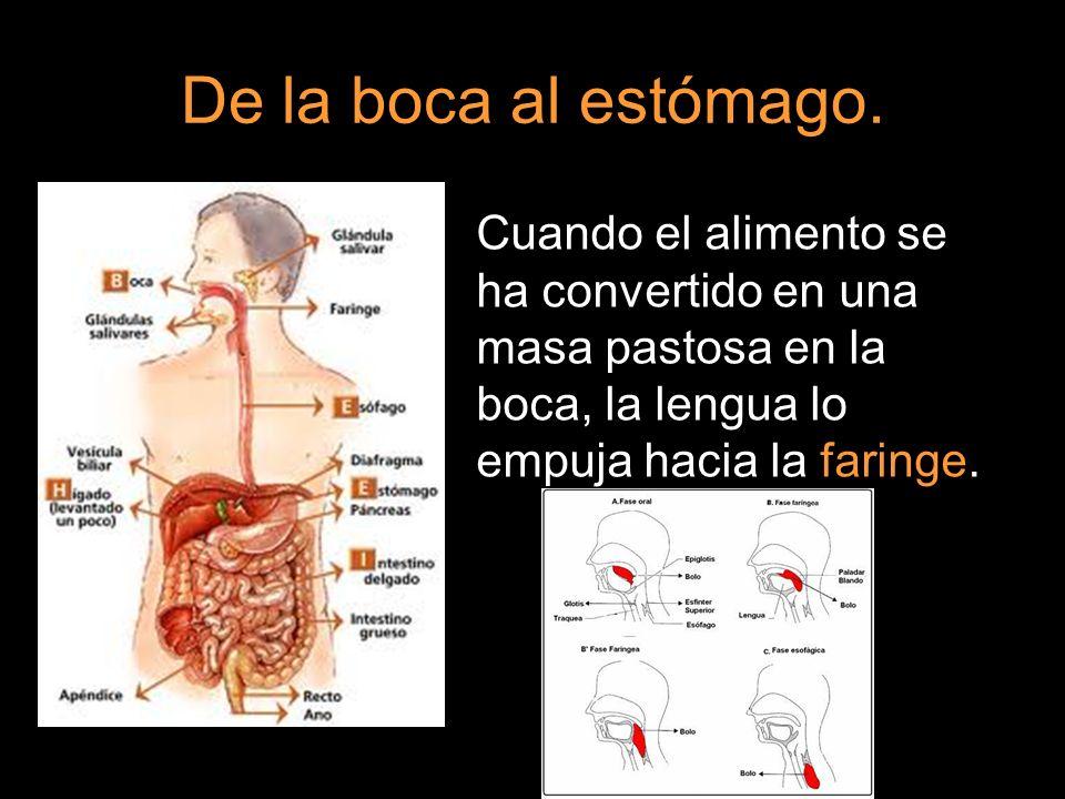 De la boca al estómago. Cuando el alimento se ha convertido en una masa pastosa en la boca, la lengua lo empuja hacia la faringe.