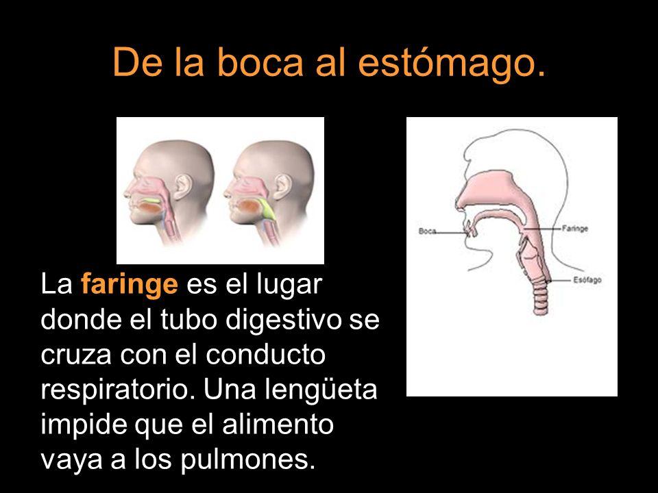 De la boca al estómago. La faringe es el lugar donde el tubo digestivo se cruza con el conducto respiratorio. Una lengüeta impide que el alimento vaya