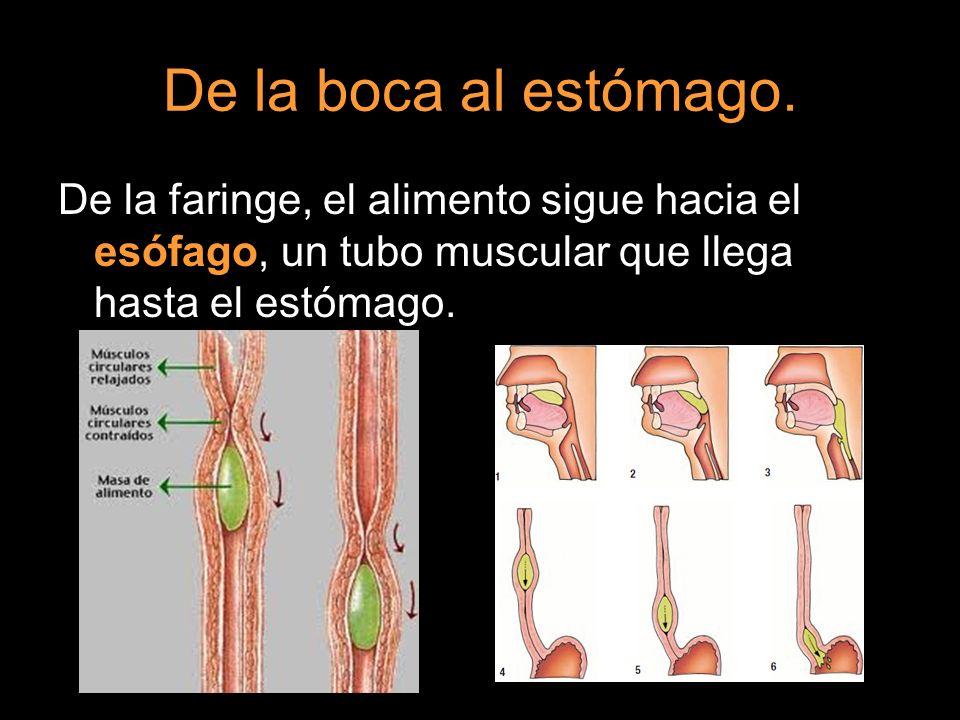 De la boca al estómago. De la faringe, el alimento sigue hacia el esófago, un tubo muscular que llega hasta el estómago.