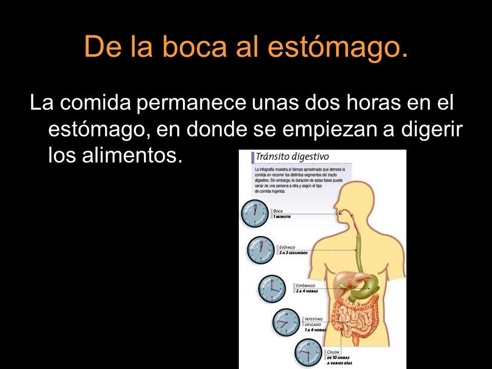 De la boca al estómago. La comida permanece unas dos horas en el estómago, en donde se empiezan a digerir los alimentos.
