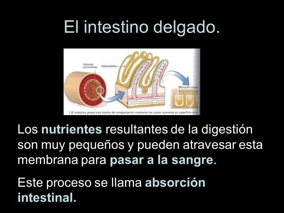 El intestino delgado. Los nutrientes resultantes de la digestión son muy pequeños y pueden atravesar esta membrana para pasar a la sangre. Este proces