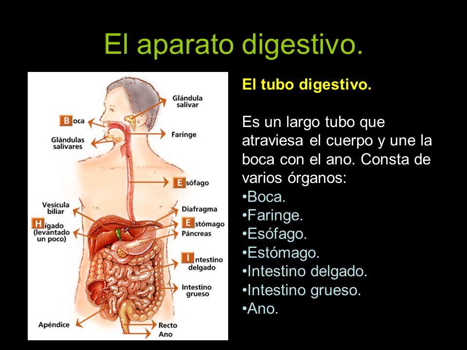 El aparato digestivo. El tubo digestivo. Es un largo tubo que atraviesa el cuerpo y une la boca con el ano. Consta de varios órganos: Boca. Faringe. E