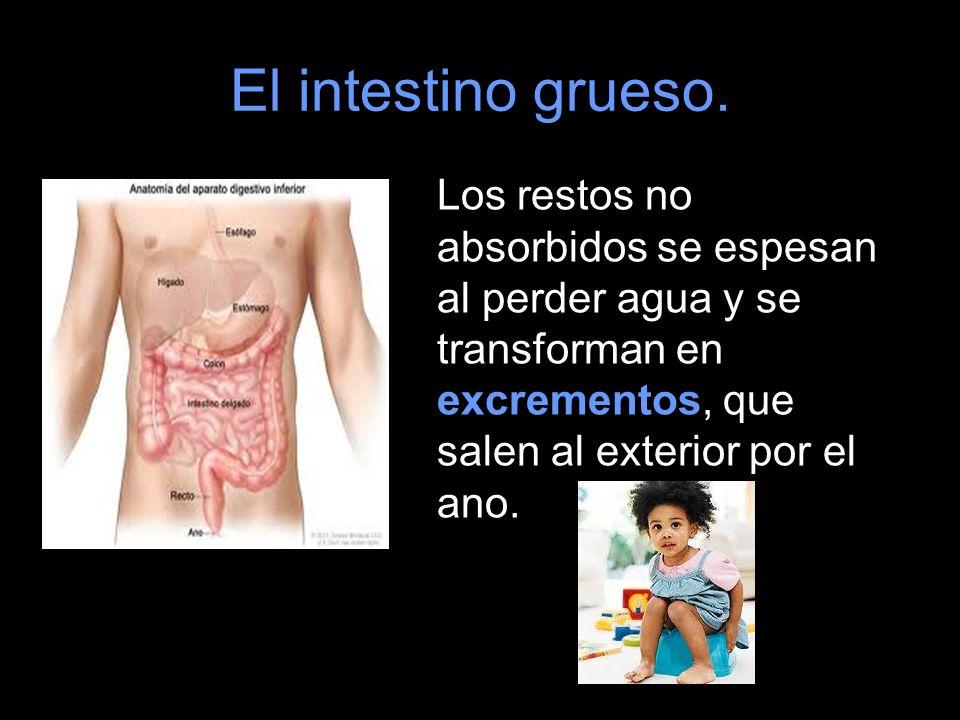 El intestino grueso. Los restos no absorbidos se espesan al perder agua y se transforman en excrementos, que salen al exterior por el ano.