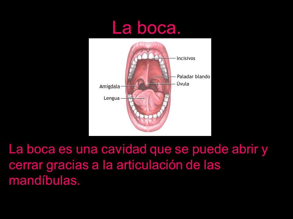 La boca. La boca es una cavidad que se puede abrir y cerrar gracias a la articulación de las mandíbulas.