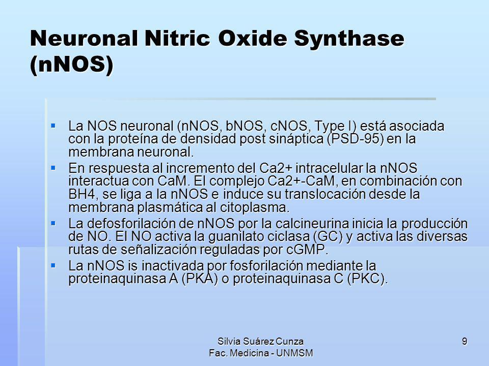 Silvia Suárez Cunza Fac. Medicina - UNMSM 9 Neuronal Nitric Oxide Synthase (nNOS) La NOS neuronal (nNOS, bNOS, cNOS, Type I) está asociada con la prot