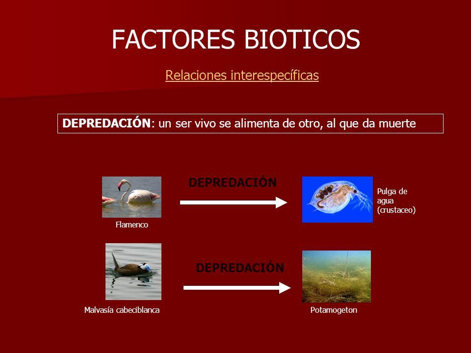 FACTORES BIOTICOS Relaciones interespecíficas Pulga de agua (crustaceo) Flamenco DEPREDACIÓN Malvasía cabeciblanca Potamogeton DEPREDACIÓN: un ser viv