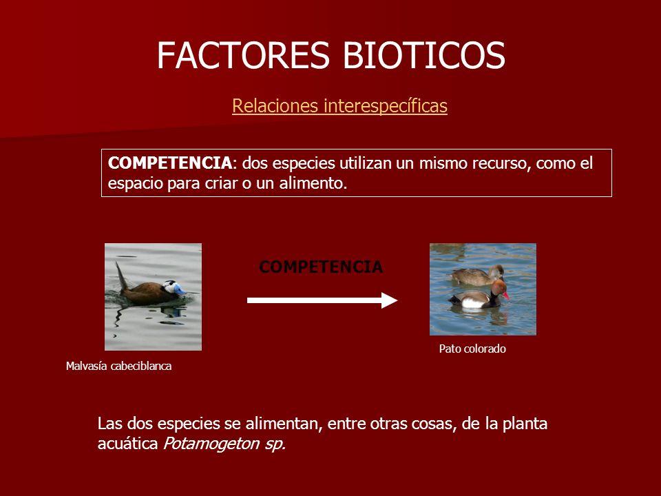 FACTORES BIOTICOS Relaciones interespecíficas COMPETENCIA Malvasía cabeciblanca Pato colorado COMPETENCIA: dos especies utilizan un mismo recurso, com