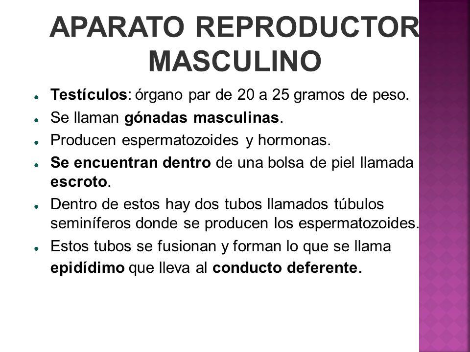 APARATO REPRODUCTOR MASCULINO Testículos: órgano par de 20 a 25 gramos de peso. Se llaman gónadas masculinas. Producen espermatozoides y hormonas. Se