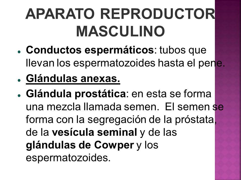APARATO REPRODUCTOR MASCULINO Conductos espermáticos: tubos que llevan los espermatozoides hasta el pene. Glándulas anexas. Glándula prostática: en es
