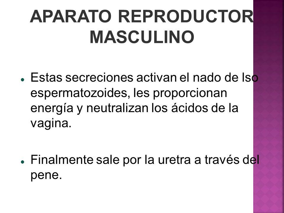 APARATO REPRODUCTOR MASCULINO Estas secreciones activan el nado de lso espermatozoides, les proporcionan energía y neutralizan los ácidos de la vagina