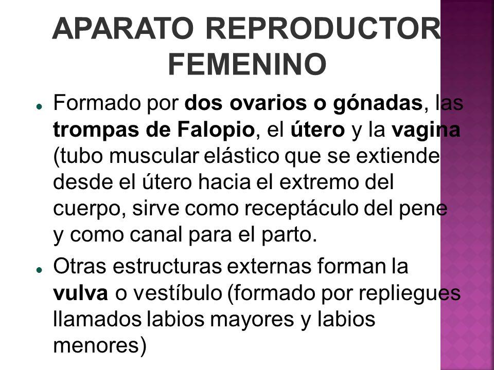 APARATO REPRODUCTOR FEMENINO Formado por dos ovarios o gónadas, las trompas de Falopio, el útero y la vagina (tubo muscular elástico que se extiende d