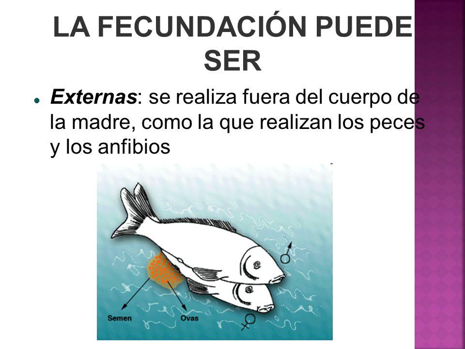 LA FECUNDACIÓN PUEDE SER Externas: se realiza fuera del cuerpo de la madre, como la que realizan los peces y los anfibios