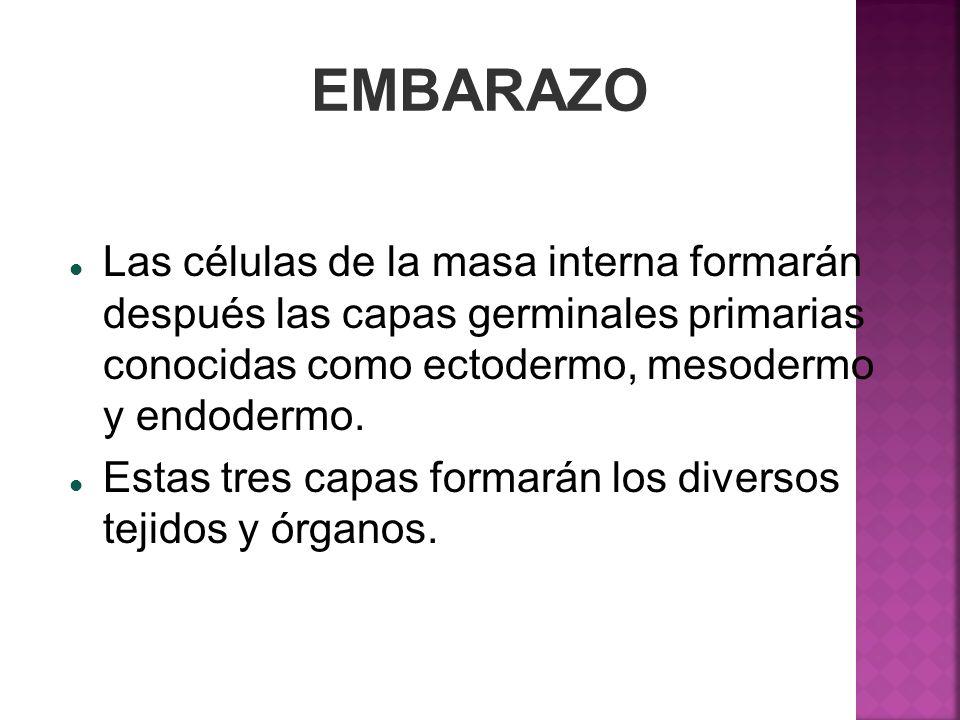 EMBARAZO Las células de la masa interna formarán después las capas germinales primarias conocidas como ectodermo, mesodermo y endodermo. Estas tres ca