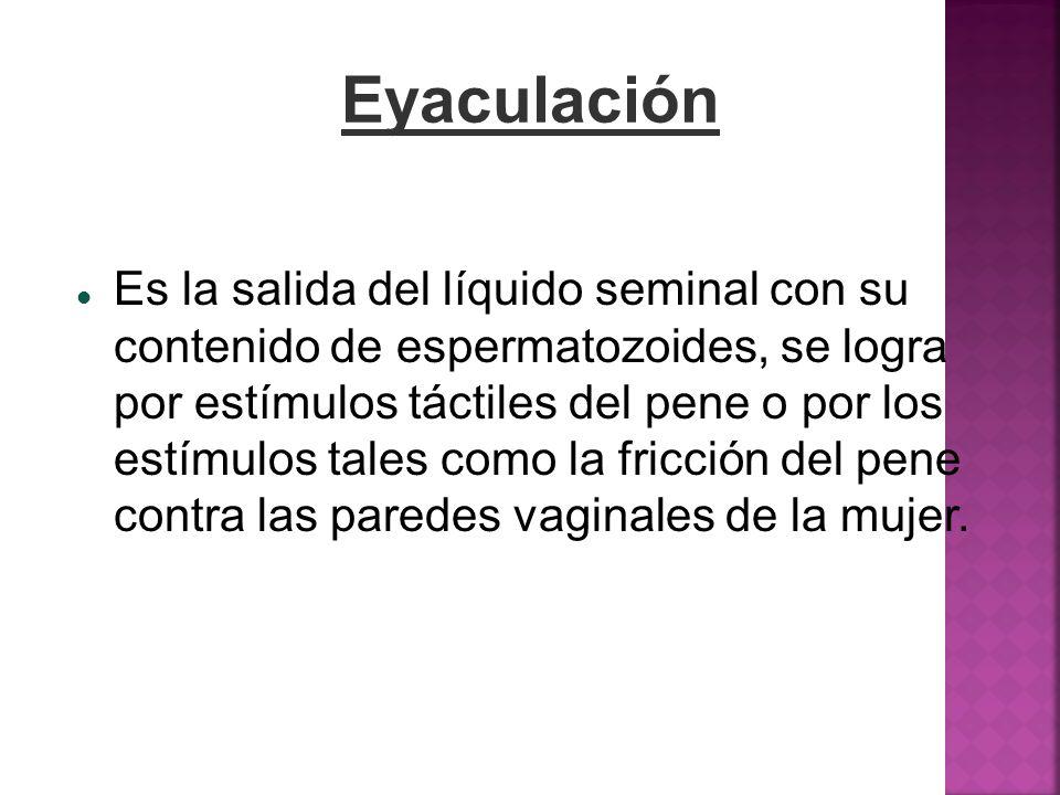 Eyaculación Es la salida del líquido seminal con su contenido de espermatozoides, se logra por estímulos táctiles del pene o por los estímulos tales c