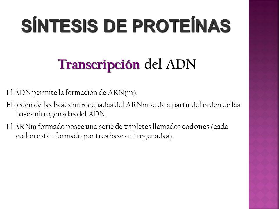 SÍNTESIS DE PROTEÍNAS Transcripción del ADN El ADN permite la formación de ARN(m). El orden de las bases nitrogenadas del ARNm se da a partir del orde