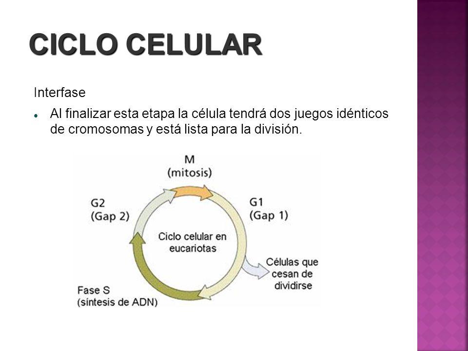 CICLO CELULAR Interfase Al finalizar esta etapa la célula tendrá dos juegos idénticos de cromosomas y está lista para la división.