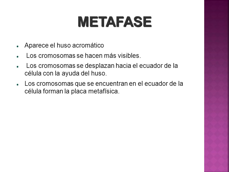 METAFASE Aparece el huso acromático Los cromosomas se hacen más visibles. Los cromosomas se desplazan hacia el ecuador de la célula con la ayuda del h