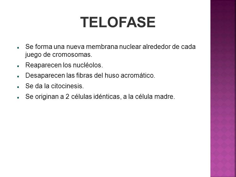 TELOFASE Se forma una nueva membrana nuclear alrededor de cada juego de cromosomas. Reaparecen los nucléolos. Desaparecen las fibras del huso acromáti
