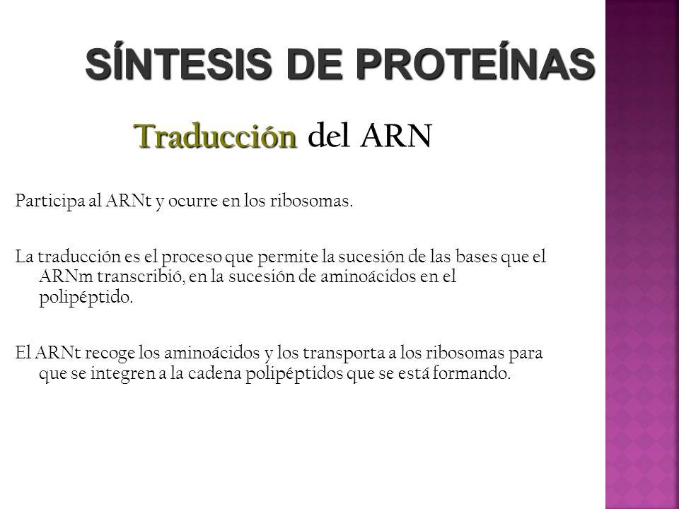 SÍNTESIS DE PROTEÍNAS Traducción del ARN El ARNt posee un anticodón, que recolecta el aminoácido determinado, en un proceso de lectura del ARNm, deslizándose sobre el ribosoma.
