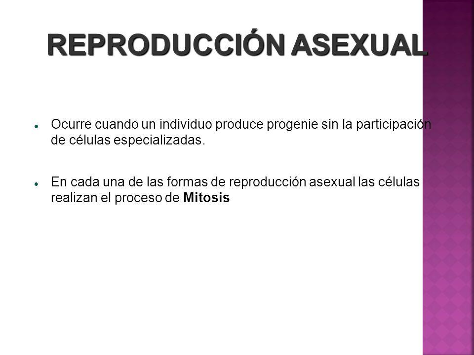 REPRODUCCIÓN ASEXUAL Ocurre cuando un individuo produce progenie sin la participación de células especializadas. En cada una de las formas de reproduc