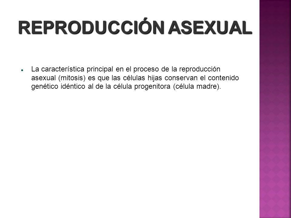 REPRODUCCIÓN ASEXUAL La característica principal en el proceso de la reproducción asexual (mitosis) es que las células hijas conservan el contenido ge