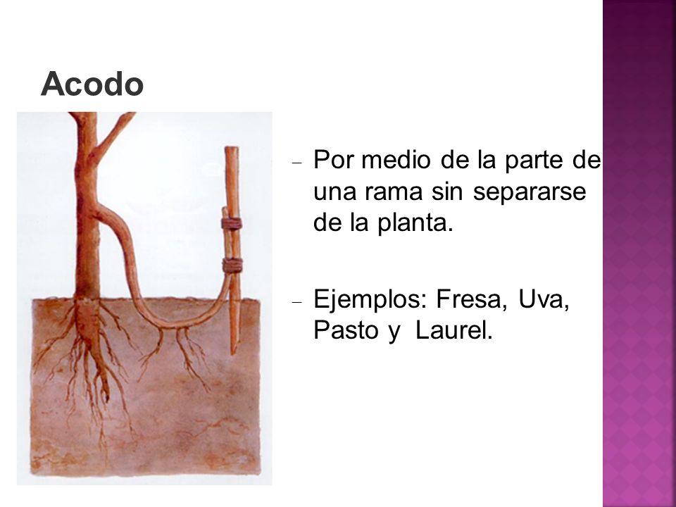 Acodo Por medio de la parte de una rama sin separarse de la planta. Ejemplos: Fresa, Uva, Pasto y Laurel.